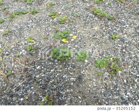 若葉が綺麗なハマヒルガオ 35205152