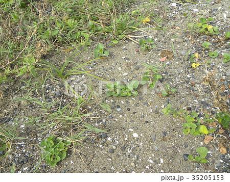 若葉が綺麗なハマヒルガオ 35205153