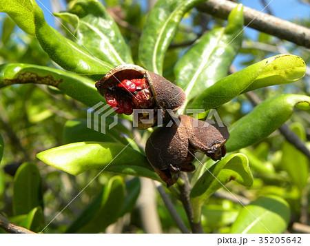 実が裂けて赤い粘液が付いた種が顔を出したトベラの実 35205642