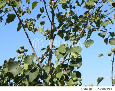 これから黒く熟し白い種を生むナンキンハゼの未熟な実 35206494
