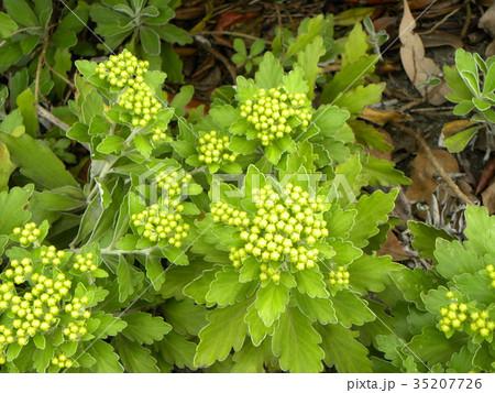 黄色い蕾は海岸の花イソギク蕾 35207726
