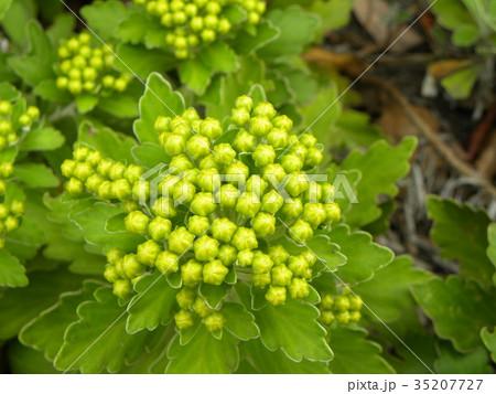 黄色い蕾は海岸の花イソギク蕾 35207727