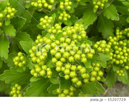 黄色い蕾は海岸の花イソギク蕾 35207729