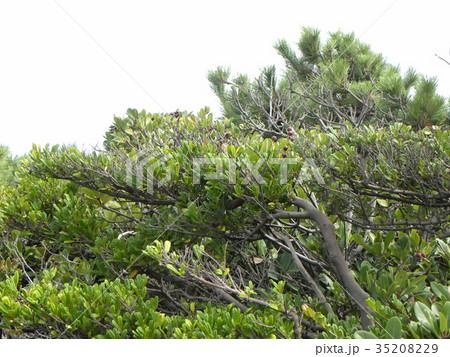 海風に吹かれて横になったシャリンバイに木 35208229