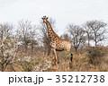 giraffe  35212738