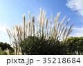 パンパスグラス 植物 秋の写真 35218684