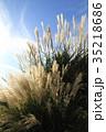パンパスグラス 植物 秋の写真 35218686