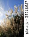 パンパスグラス 植物 秋の写真 35218687