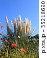 パンパスグラス 植物 秋の写真 35218690