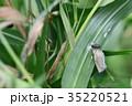 クロコノマチョウのサナギ 35220521