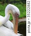 ペリカン モモイロペリカン 鳥の写真 35222882