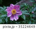 シャクヤク 花 植物の写真 35224649