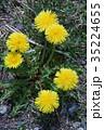 カントウタンポポ 蒲公英 花の写真 35224655