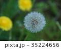 セイヨウタンポポ タンポポ 綿毛の写真 35224656