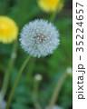 セイヨウタンポポ 蒲公英 花の写真 35224657