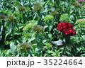 ヒゲナデシコ ナデシコ 花の写真 35224664