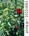 ヒゲナデシコ ナデシコ 花の写真 35224665
