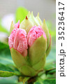 蕾 植物 石楠花の写真 35236417
