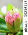 蕾 植物 石楠花の写真 35236418