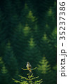 ノスリ 猛禽類 野鳥の写真 35237386