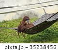 オランウータン 35238456