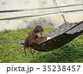 オランウータン 35238457