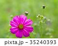 コスモス 蕾 秋桜の写真 35240393