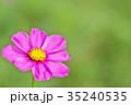 コスモス 秋桜 センセーションの写真 35240535