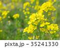 花 菜の花 黄色の写真 35241330