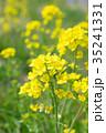 花 菜の花 黄色の写真 35241331