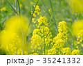 花 菜の花 黄色の写真 35241332