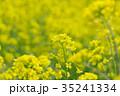 花 菜の花 黄色の写真 35241334