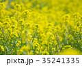 花 菜の花 黄色の写真 35241335