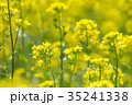 花 菜の花 黄色の写真 35241338