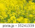 花 菜の花 黄色の写真 35241339