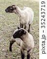 羊 35243719