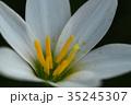 玉簾 ヒガンバナ科 レインリリーの写真 35245307