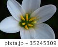 玉簾 ヒガンバナ科 レインリリーの写真 35245309