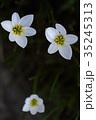 玉簾 ヒガンバナ科 レインリリーの写真 35245313
