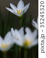 玉簾 ヒガンバナ科 レインリリーの写真 35245320