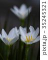 玉簾 ヒガンバナ科 レインリリーの写真 35245321