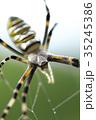 女郎蜘蛛 蜘蛛 昆虫の写真 35245386