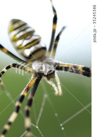 女郎蜘蛛 35245386