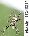 女郎蜘蛛 蜘蛛 昆虫の写真 35245387