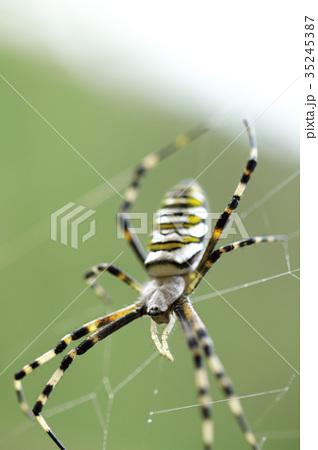 女郎蜘蛛 35245387