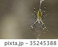 女郎蜘蛛 蜘蛛 昆虫の写真 35245388