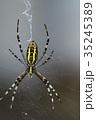 女郎蜘蛛 蜘蛛 昆虫の写真 35245389