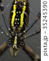 女郎蜘蛛 蜘蛛 昆虫の写真 35245390