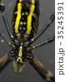女郎蜘蛛 蜘蛛 昆虫の写真 35245391
