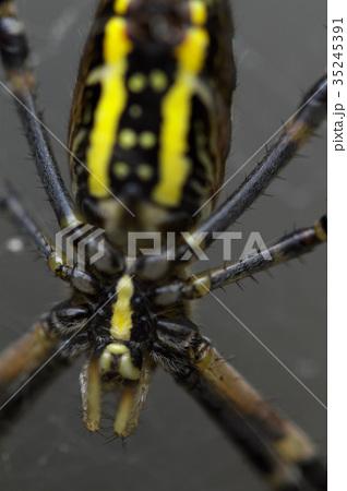 女郎蜘蛛 35245391